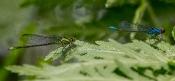 Großes Granatauge-Paar (Erythromma najas)