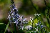 Asyneuma anthericoides (Campanulaceae)