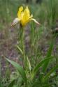 Bunte Schwertlilie (Iris variegata)