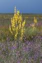 Flockige Königskerze (Verbascum pulverulentum)