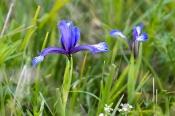 Iris sintenisii (iridaceae)