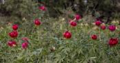 Pfingstrosen-Bestand FO: Hügel in der Dobrudscha