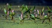 Wasserknöterich (Polygonum amphibium)