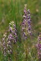 Ziegen-Riemenzunge (Himantoglossum caprinum)