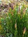 Ackerschachtelohalm (Equisetum arvense)