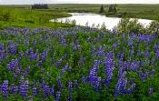 Alaska-Lupinen (Lupinusnootkatensis)