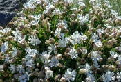 Aufgeblasenes Leimkraut (Silene uniflora)