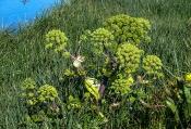 Engelwurz (Angelica archangelica)
