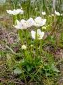Herzblatt (Parnassia palustris)