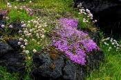 Islandtypischer Pflanzenbestand