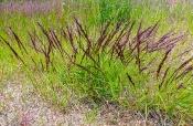 Moor-Reitgras (Calamagrostis stricta)