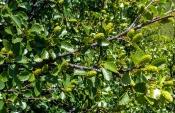 Moorbirke (Betula pubescens ssp.czerepanovii)