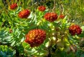 Rosenwurz (Rhodiola rosea)