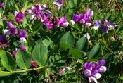 Strand-Platterbse (Lathyrus japonicus ssp.maritimus