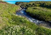 Weiß-Klee (Trifolium repens)