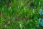 Weißzüngel-Bestand (Pseudorchis straminea)