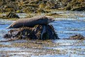 Gemeiner Seehund (Phoca vitulina)