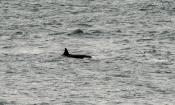 Schwertwal oder Orca (Orcinus orca)