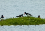Island-Vögel