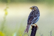Grauammer (Miliaria calandra)