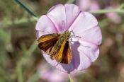 Mattscheckiger  Braundickkopf Thymelicus acteon