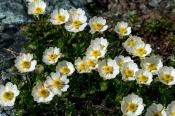 Alpen-Hahnenfuß (Ranunculus alpestris)