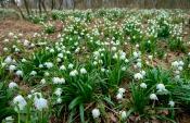 Frühlingsknotenblumen (Leucojum vernum)