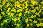 Gelbes Buschwindröschen (Anemone ranunculoides)