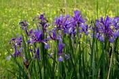 Salzwiesen-Schwertlilie (Iris spuria)