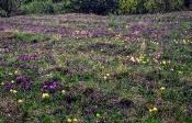 Zwerg-Schwertlilie (Iris pumila)