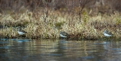 Waldwasserläufer (Tringa ochropus)