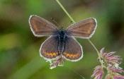 Bläuling (Polyommatus escheri)