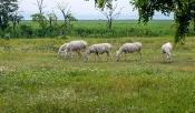 Weisse Esel von Illmitz