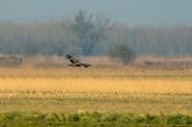 Kaiseradler (Aquila heliaca) juv