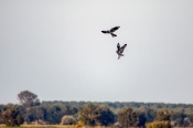 Sumpfohreule attackiert Wiesenweihen-Männchen