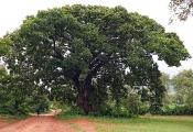 Alter Baum-Riese