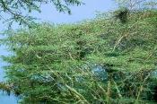 Acacia xanthoploea