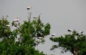 Nimmersatt-Storch