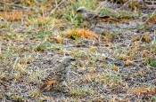 Rotschwanzweber
