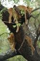 Baumlöwen