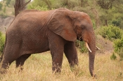 Elefant (Loxodonta africana)