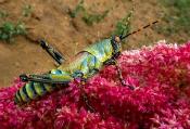 Harlekinschrecke (Zonocerus variegatus)