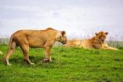 Löwen Weibchen