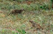 Zebramangusten (Mungos mungo)