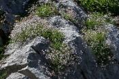 Kriech-Gipskraut (Gypsophila repens)