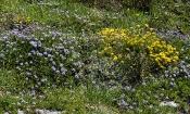 Kugelblumen- und Hornklee-Bestand