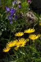 Rindsauge (Buphthalmum salicifolium) mit Scheuchzer-Glockenblume (Campanula scheuchzerii)