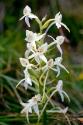 Weiß-Waldhyazinthe (Plantanthera bifolium)
