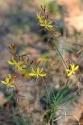 Große Affodeline (Asphodeline lutea)