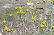 Mittelmeer-Strohblume (Helichrysum stoechas)
